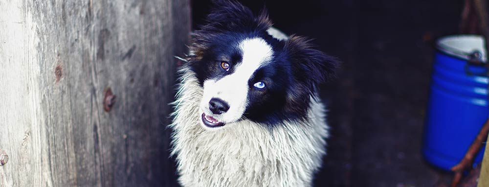 border-collie-heterochromia