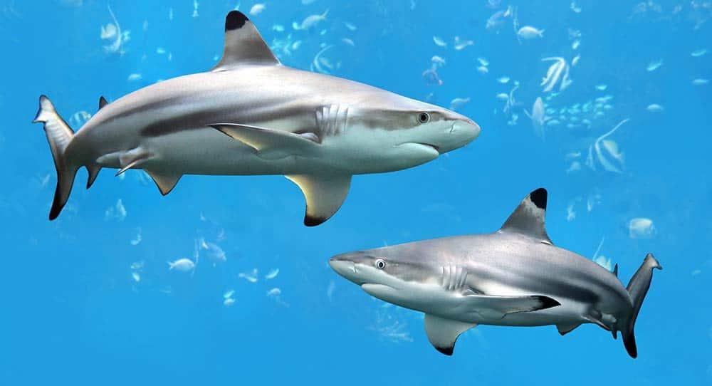 sharks_14183634